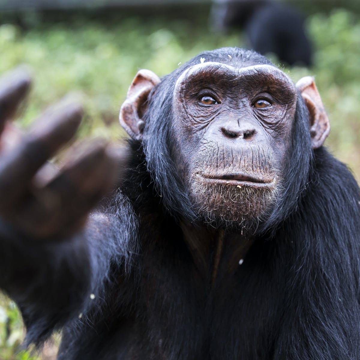 No wonder we are so fascinated by chimps – they remind us of