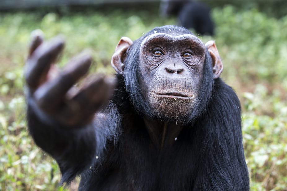 no wonder we are so fascinated by chimps they remind us of ourselves