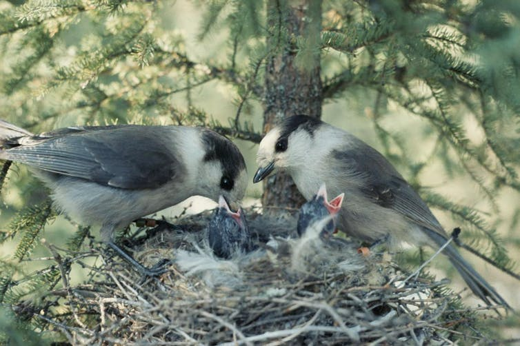 Male and female grey jays feeding chicks. Dan Strickland/Wikipedia