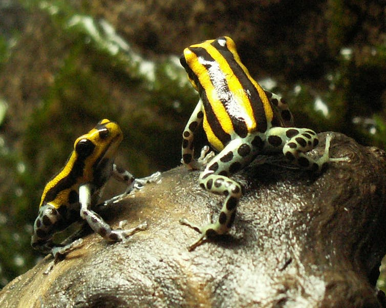 Ranitomeya poison frogs cooperate to raise offspring. Nicop69/Wikipedia