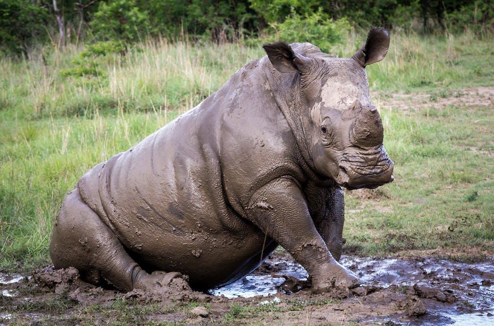 How Long Before The Rhino Joins List Gerry Zambonini