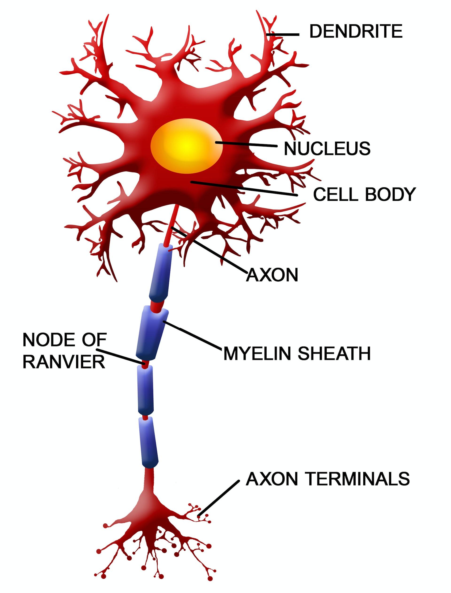 neuron diagram google 3 5 tridonicsignage de \u2022neuron diagram google best wiring library rh 92 ilahidinle be brain diagram basic neuron diagram