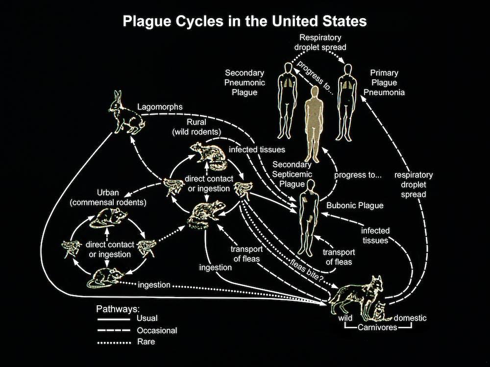 Yersinia pestis photo — 2