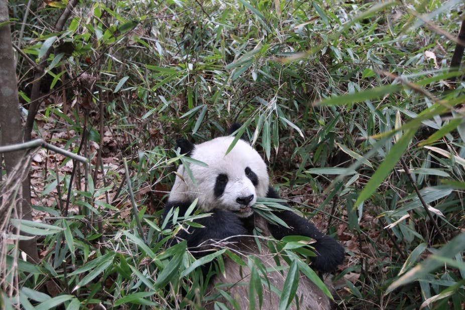 Why are pandas so chilled? The clue is in the bamboo