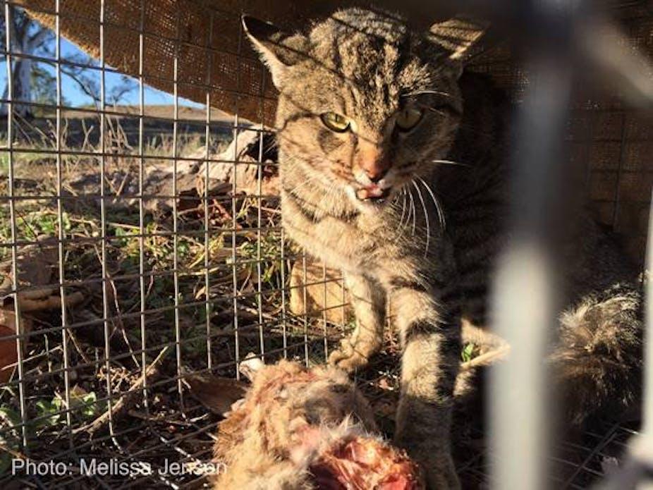 Feral Cats Released In Australia