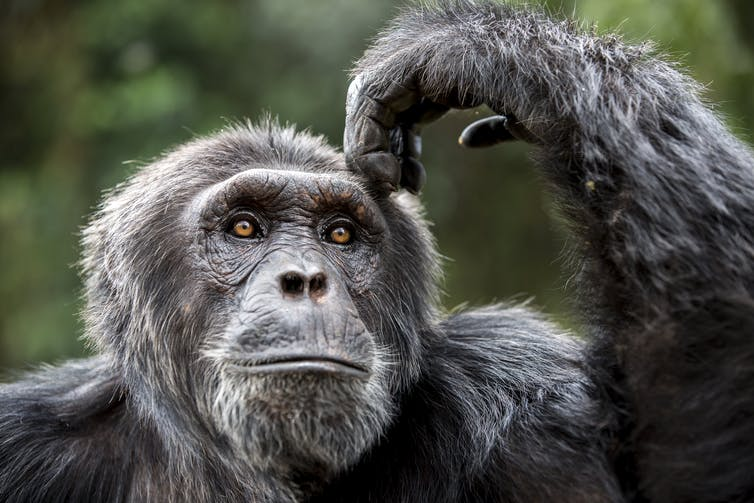 There's a supposed 4% genetic difference between chimps and men.  International Fund for Animal Welfare Animal Rescue Blog/Flickr, CC BY