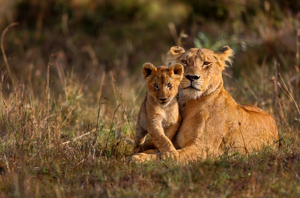 lion is a well made melodrama a rather disturbing message canned lion hunting is the focus of the 2015 film blood lions which calls for the end of being bred for the bullet shutterstock