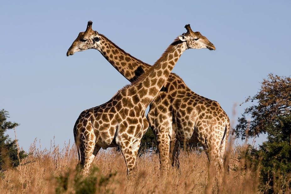Giraffes aren't dangerous – but they will soon be endangered