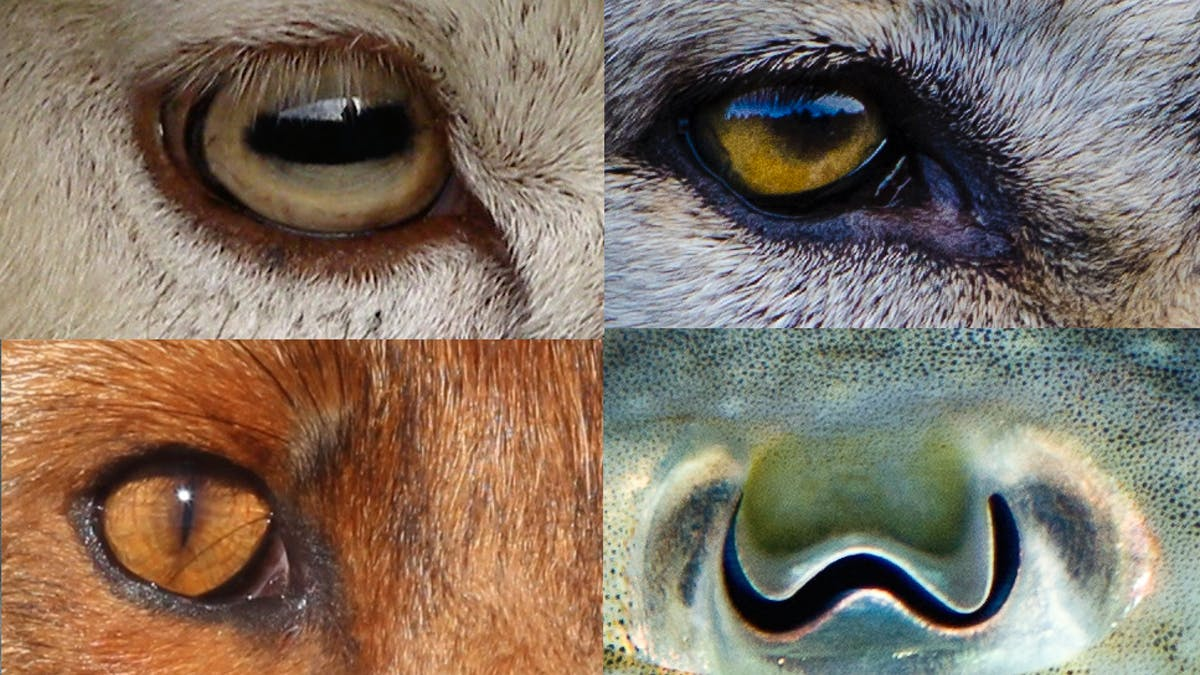 Revealed Why Animals Pupils Come In Different Shapes And Sizes