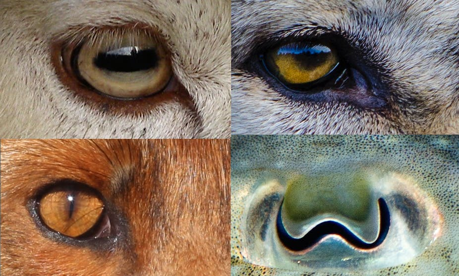 Revealed: why animals' pupils come in different shapes and sizes
