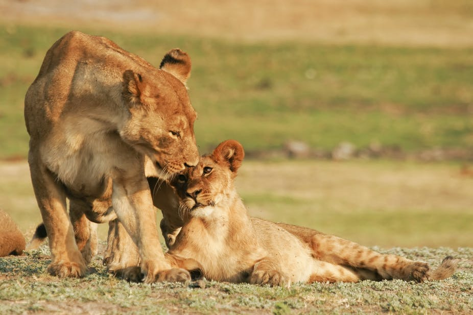 Why moving South African lions to Rwanda is not without problems