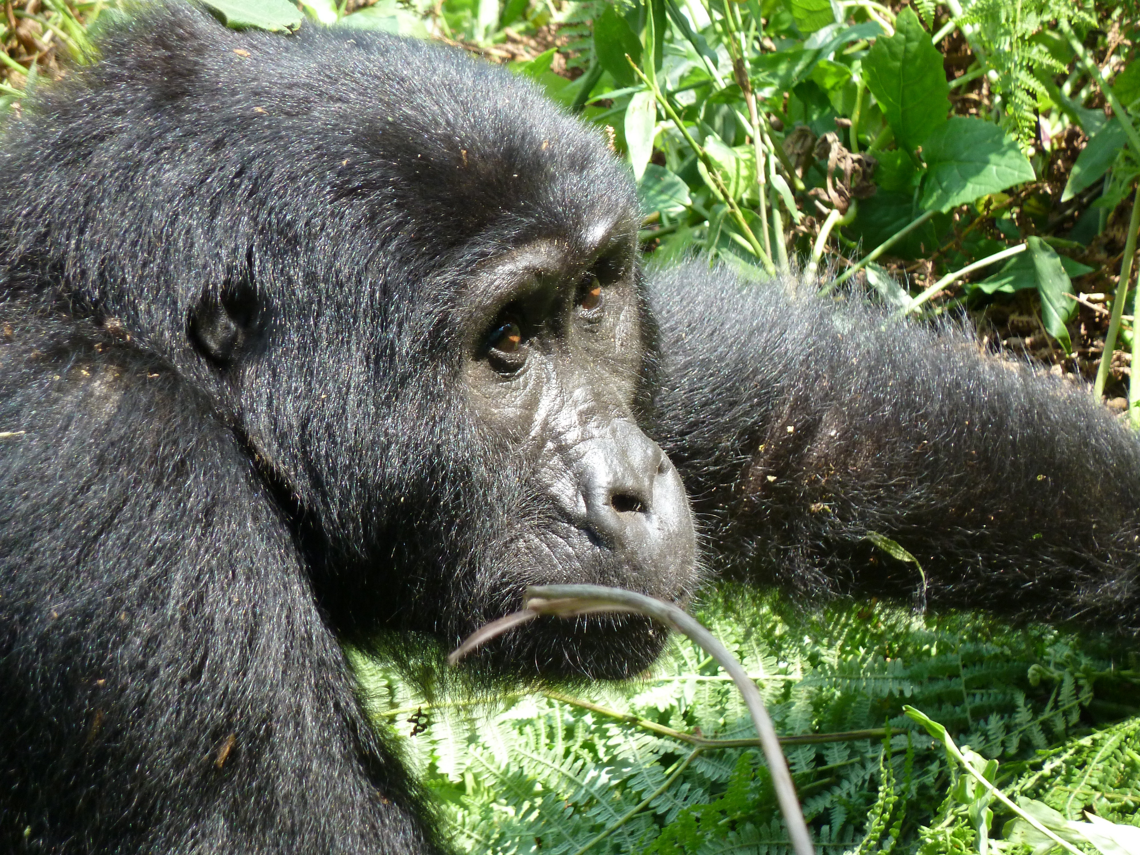 Silverbacks and greenbacks: the catch-22 at the heart of gorilla conservation