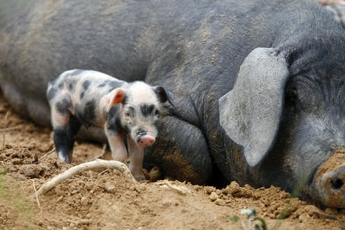 How did wild boar become farmyard pigs? Genetic data reveals