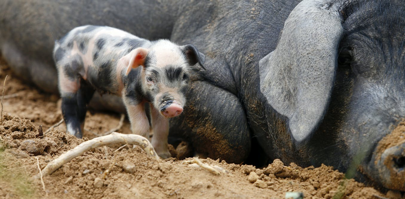 How did wild boar become farmyard pigs? Genetic data reveals the answer