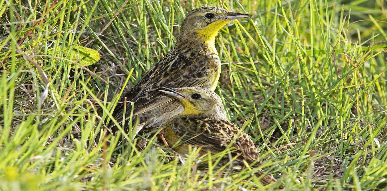 African Grassland Birds What South African far...