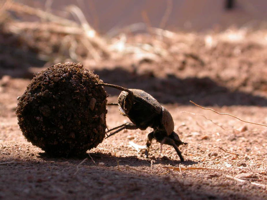 Five things dung beetles do with a piece of poo