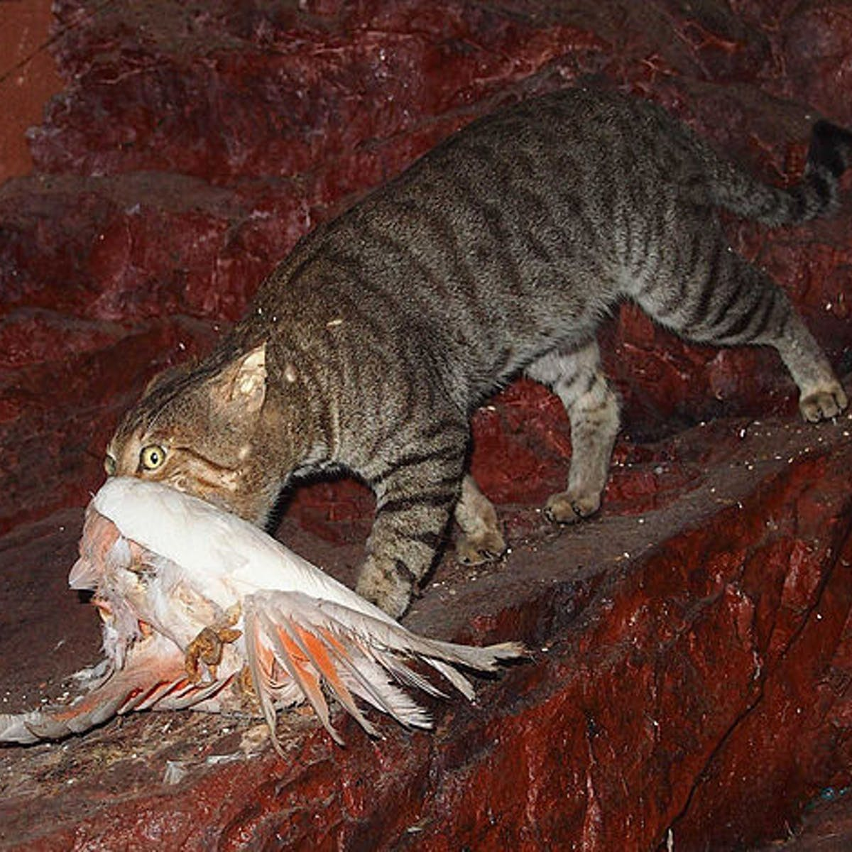 Australia's war on feral cats: shaky science, missing ethics