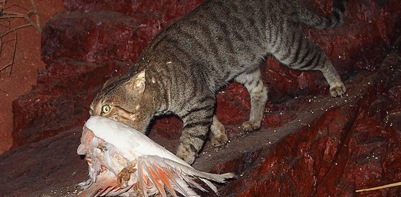 daa5ba9f93 Australia s war on feral cats  shaky science