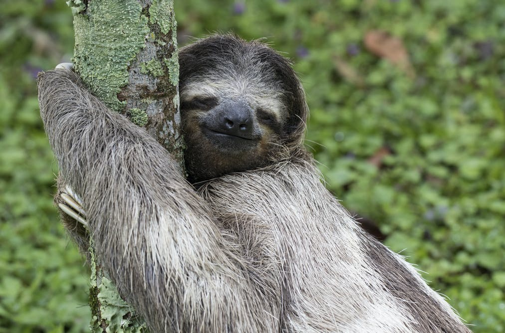 Sloths aren't lazy – their slowness is a survival skill